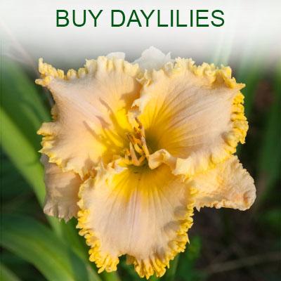 Buy daylilies