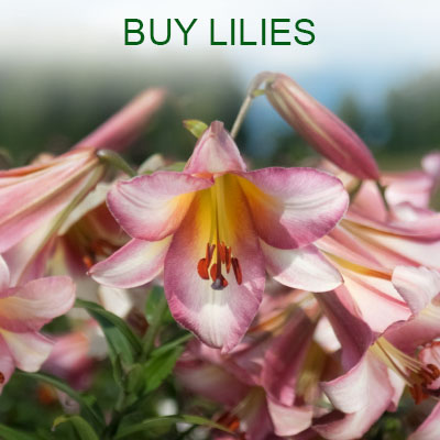 Buy lilies