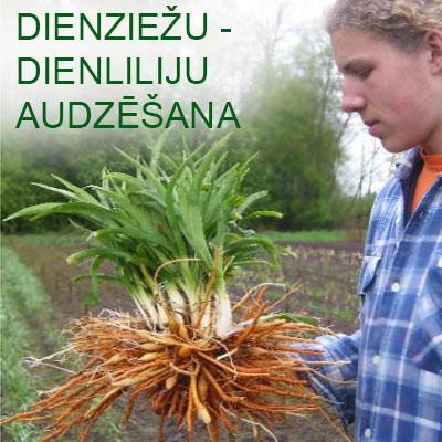 Dienziežu - dienliliju audzēšana