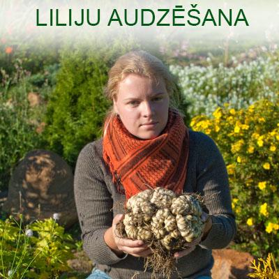 Liliju audzēšana