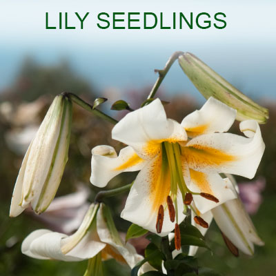 Lily seedlings